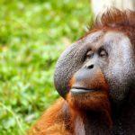 オランウータンはヒトの声をマネできる事が判明!【動画】最新動物行動研究