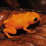 自種の鳴き声が聞こえないカエル、なぜ鳴く?最新動物行動研究