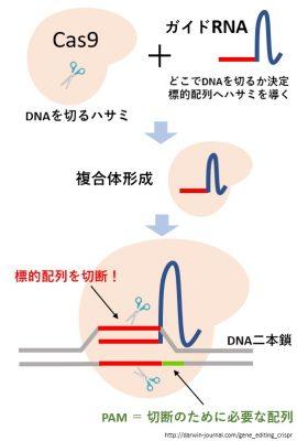 デメリット 遺伝子 組み換え メリット