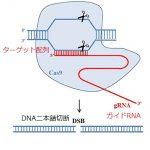 ゲノム編集・CRISPRとは?わかりやすい図や動画で簡単な原理や倫理的問題を解説