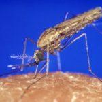 実験で蚊の絶滅に成功した遺伝子ドライブーその危険性、課題と安全対策