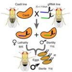 CRISPRを応用した最新害虫管理方法、ゲノム編集で卵から不妊雄のみ発生