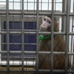 賢いサルの誕生?脳に関わるヒトの遺伝子をサルに移植、倫理上の批判もー中国最新研究